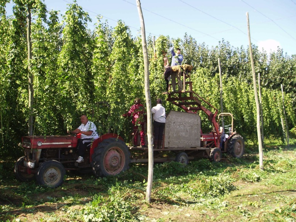 Working on the hops at Brenley Farm, by the Bombus Studio