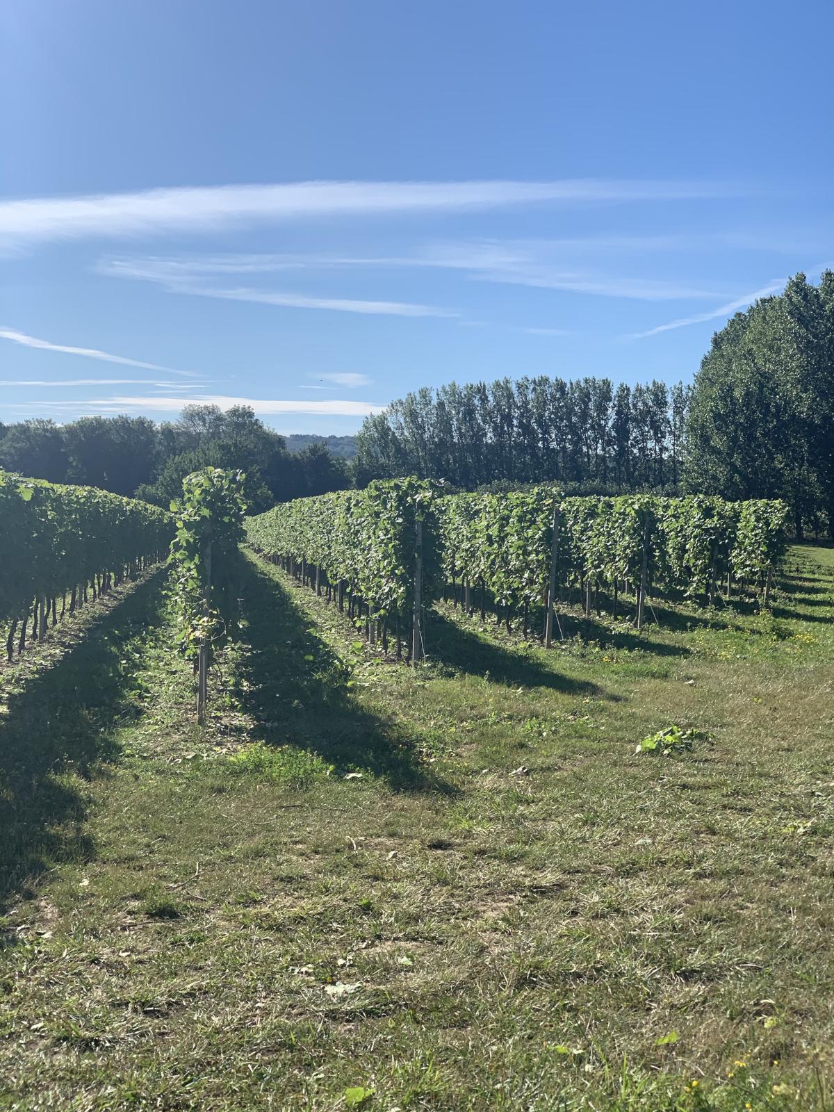 The vineyard at Brenley Farm near the Bombus Studio, Faversham