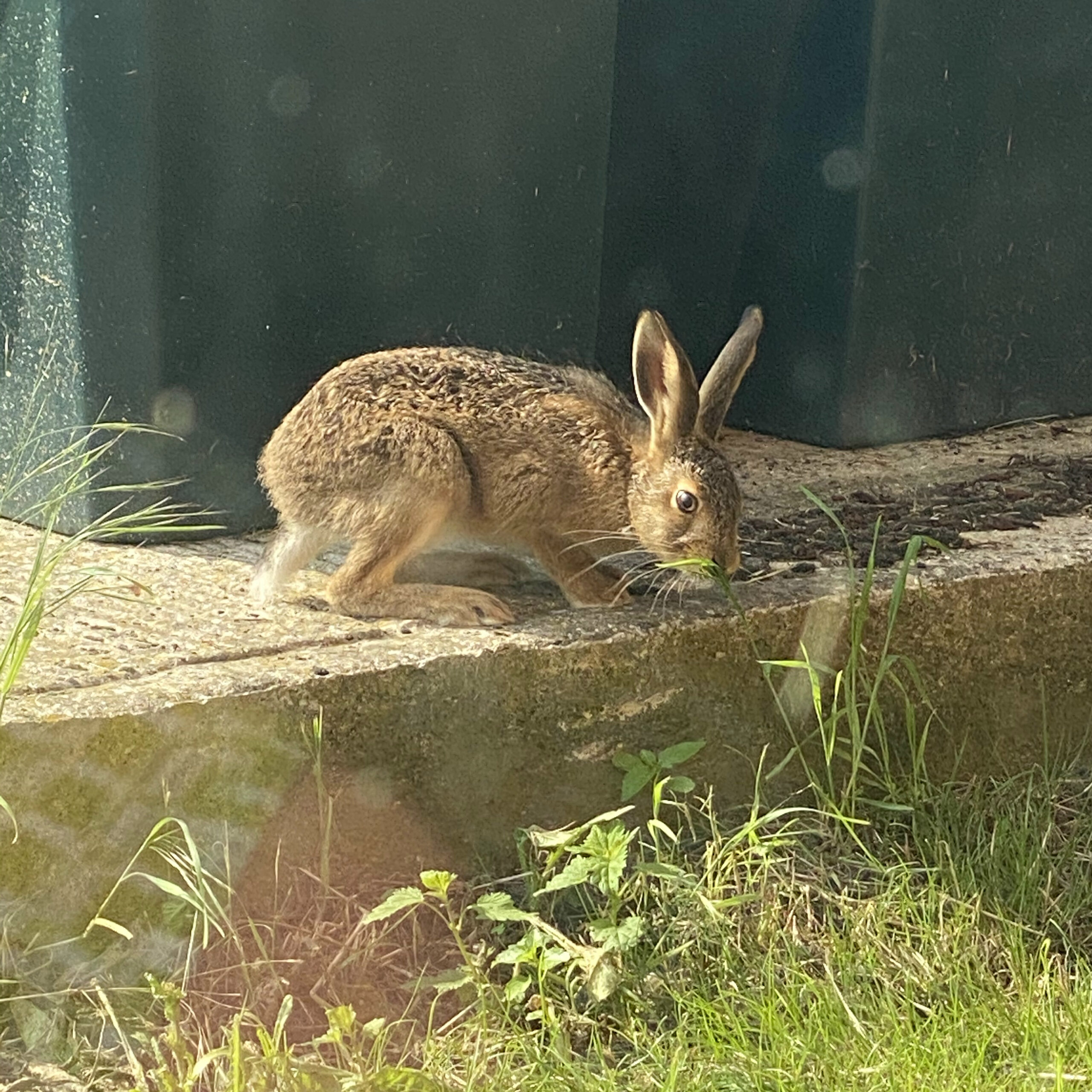 Wild hare visiting us eating lunch at Bombus