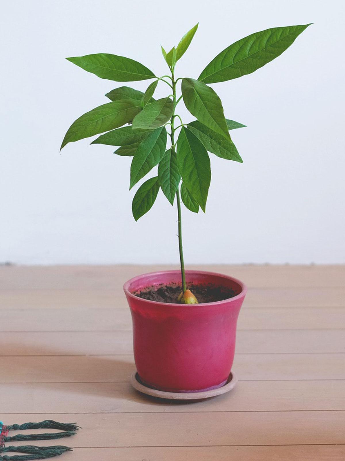 Jo's Avocado Plant
